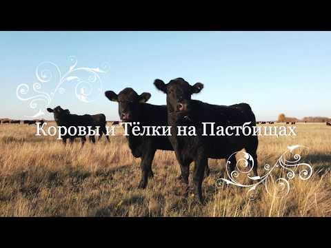 АНГУС: коровы и тёлки на пастбищах