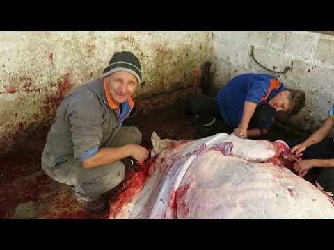Зарезали ТЕЛКУ на мясо.Очень жирная ГОВЯДИНА!Мясо на зиму.