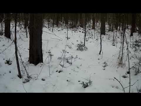 Удачная проверка капканов на соболя, охота на лося( Первая часть)
