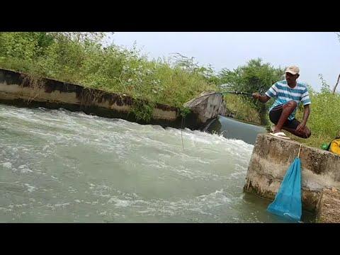 Fish hunting || Amazing Catching the baam fish & tilapia fish