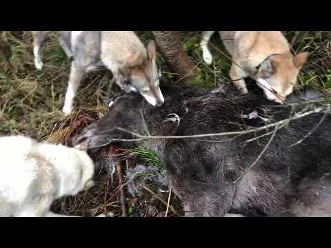 Ходовая охота на лося и кабана с лайкой !!!