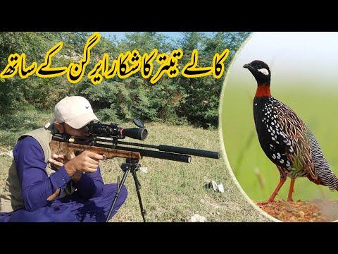 "Black Partridge ""Kala Teetar"" Hunting in Pakistan with PCP Airgun / Shikar 2021"
