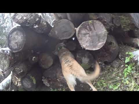 Охота на зайца с Русской гончей  21 11 20