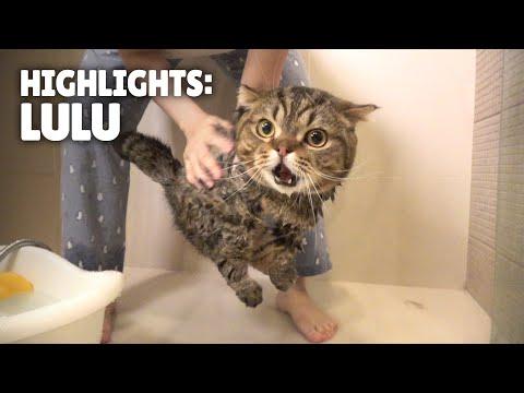 Highlights of LuLu the Cat | Kittisaurus