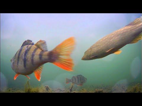 ВЫСОКОЕ ДАВЛЕНИЕ! Щука и Окунь на живца! Рыбалка на жерлицы. Подводная съемка