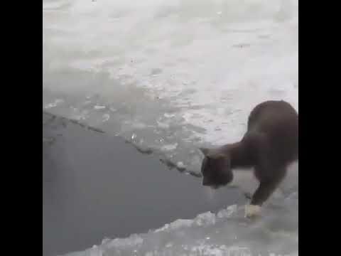 Навык рыбной ловли у кошек явно на максимуме