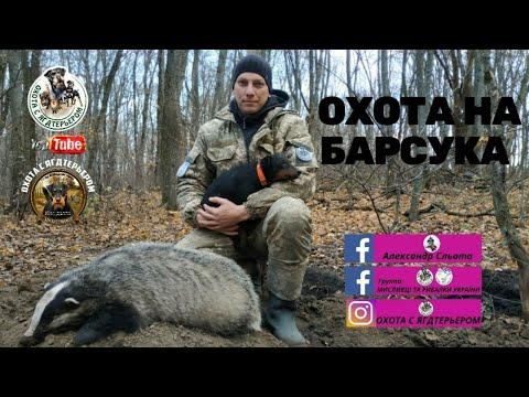 Охота с ягдтерьером, лицензионная Охота на барсука