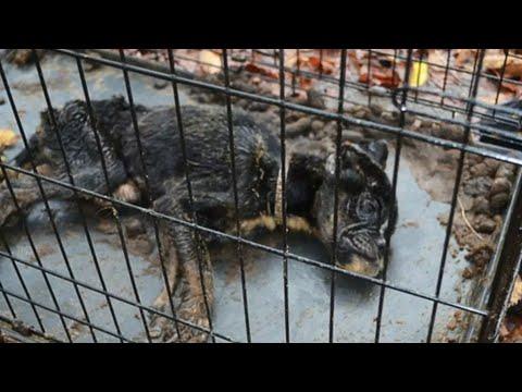 Собака лежала в грязной клетке и была неподвижна. Ветеринары пришли в ужас, осматривая животное