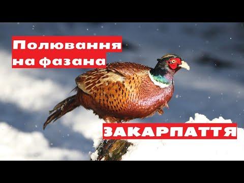 Закарпаття | Полювання на фазана 2020 | Зимняя охота на фазана
