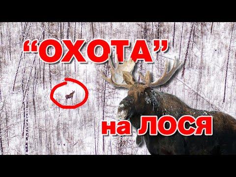 """Охота"" на лося."