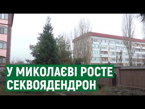 П'ять метрів за 9 років – у Миколаєві чоловік вирощує гігантську секвою