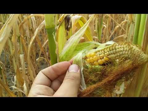 Кукурудза  5 ц з га