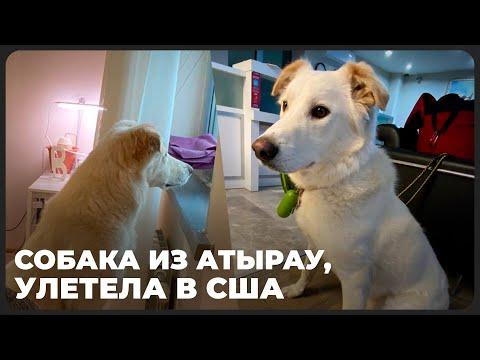 Собака, которую душили дверцей в Атырау, улетела в США