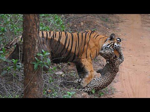 Бенгальский Тигр !  Тигр против Медведя, Собаки, Крокодила, Буйвола. Царь дикой природы. | 2020-12-20 20:02:58 | новомодный хер 5cf7