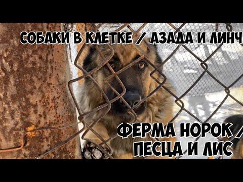 Собаки в клетке/Азада и Линч/Ферма норок/ песца и лис | 2020-12-20 20:04:47 | банкетный доцветание 6bdb