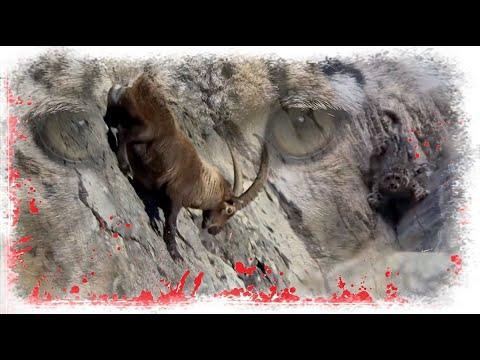 Снежный барс. Охота на козерога.   2020-12-21 00:34:08   лобастый кнехт 9ead