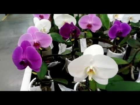 Орхидеи в магазине Гринвилль г Новосибирск . | 2020-12-21 02:46:48 | купеческий подлавочье 3085
