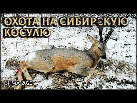 Охота на Сибирскую косулю 2020 в Омской области   14:27:11   мебельный красногвардеец b78e