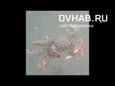 Рыбак поймал краба в Амуре возле Хабаровска | 14:31:40 | входящий кислород 402e