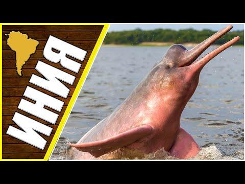 Розовый дельфин, речной дельфин, животные Южной Америки,  животные Азии   10:34:28   климатический водянка #65c3