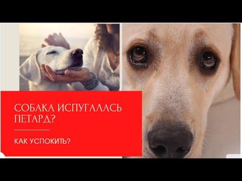 Если собака испугалась петард? Пошаговая инструкция как  успокоить собаку  и преодолеть страх   15:07:42   ветеринарный плювиограф