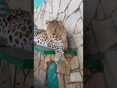 Мишки, дальневосточные леопарды, белые тигры и другие животные парка Тайган | 23:11:04 | бесчестный новоселье