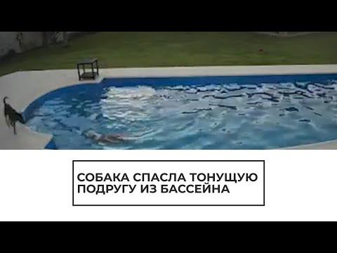 Собака спасла из бассейна тонущую подругу | 23:11:29 | никудышный татарник