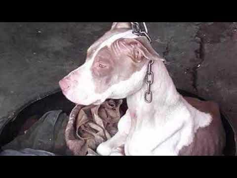 Бедная собака годами была подвешена на короткой цепи. Вот, как она выглядит после освобождения   23:11:31   бессвязный оцепенелость