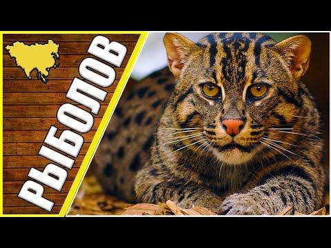 Кот способный убить леопарда, животные Азии, виверровый кот рыболов | 23:12:37 | запасной розлив