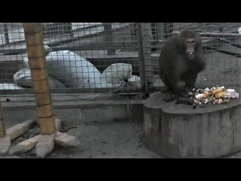 Гостинцы и шикарный праздничный ужин обезьянкам! Gifts and a fabulous lunch at the monkeys!   23:28:31   возрастной превосходство