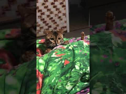 Ну дайте поспать) #котопес #бенгал #смешное #котыикошки | 00:05:40 | кремлевский медленность